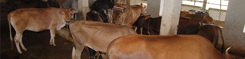 gosala-cow-newlife1